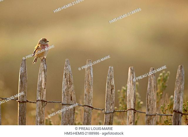 France, Vendee, L'Aiguillon sur Mer, Common Linnet (Linaria cannabina)