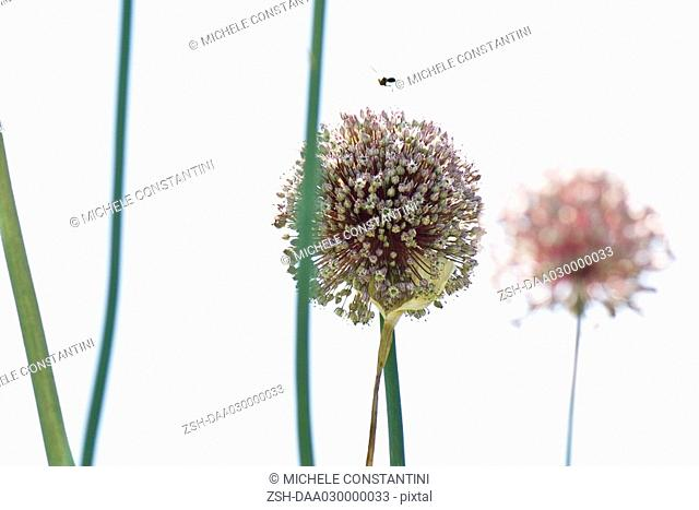 Insect hovering over allium blossom