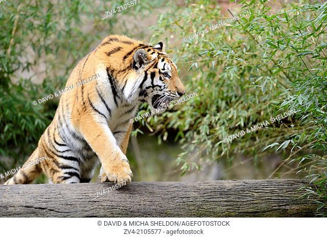 Siberian tiger or Amur tiger (Panthera tigris altaica)
