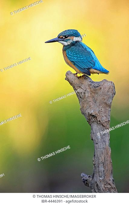 Common kingfisher, also Eurasian or river kingfisher (Alcedo atthis) on old branch, Middle Elbe Biosphere Reserve, Saxony-Anhalt, Germany