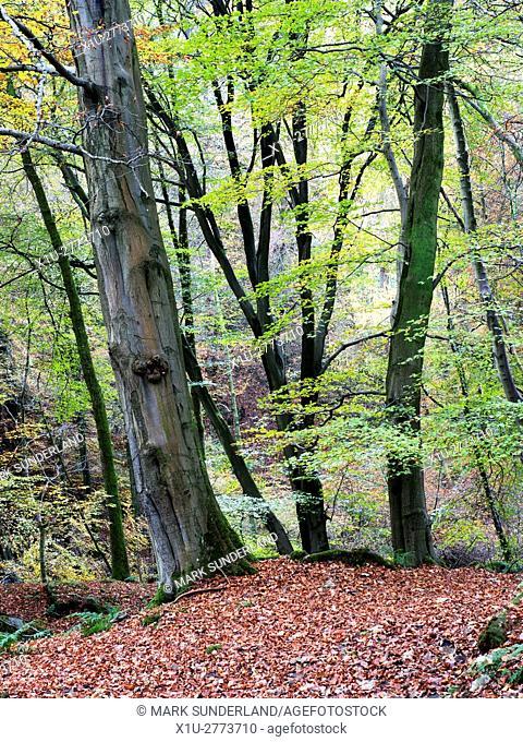 Autumn Trees in Skrikes Wood near Pateley Bridge North Yorkshire England