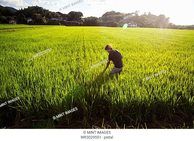 A rice farmer standing in a field of green crops, a rice paddy with lush green shoots