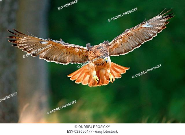 Flying bird of prey, Red-tailed hawk, Buteo jamaicensis
