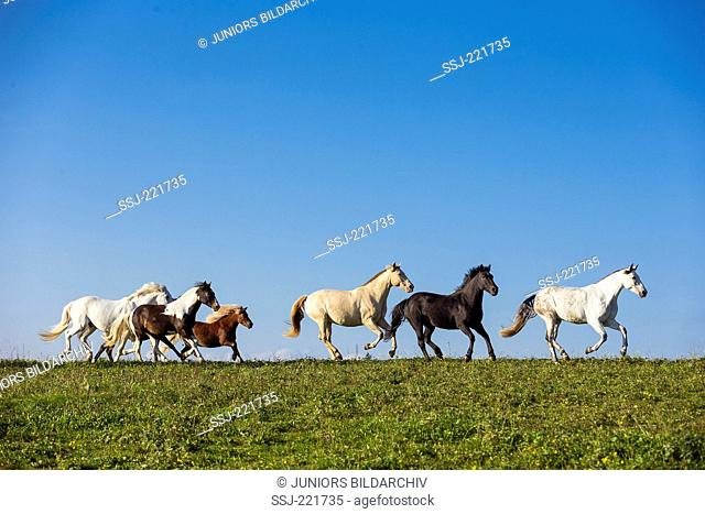 Domestic horse. Herd galloping on a pasture. Germany