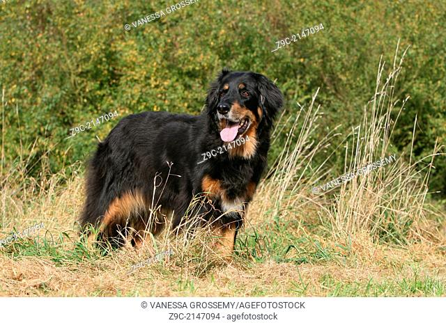 Hovawart dog / adult standing in a meadow