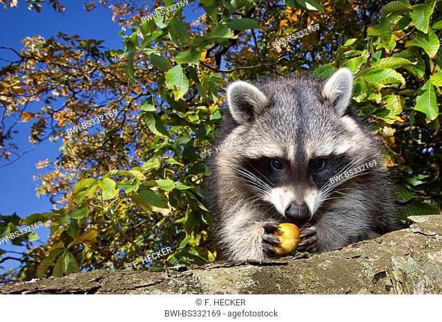 common raccoon (Procyon lotor), six month old male sitting in a chestnut tree trying to open a fruit, Germany