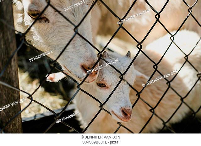 Mother goat and kid at wire fence