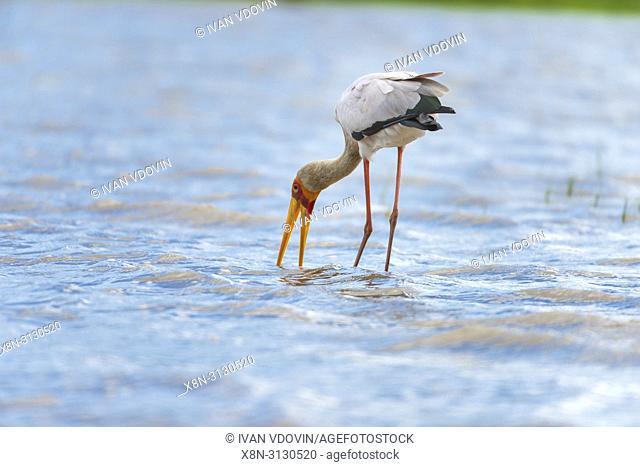 Yellow-billed Stork (Mycteria ibis), Rufiji river, Tanzania, East Africa