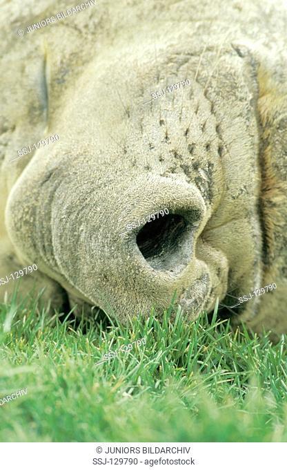 southern elephant seal - nose - Mirounga leonina