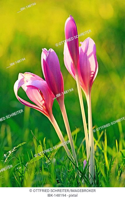 Meadow saffron (Colchicum autumnale) on a meadow