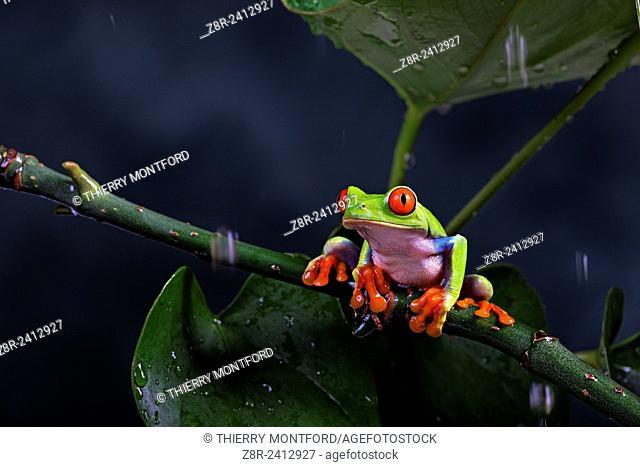 Agalychnis callidryas. Red eyed tree frog under the rain. Costa Rica