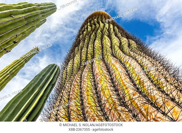 A large Mexican giant cardon cactus, Pachycereus pringlei, near a giant barrel cactus on Isla Santa Catalina, Baja California Sur, Mexico