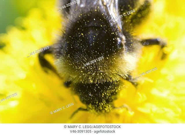 Norwegian Bumblebee, Bombus norvegicus on dandelion