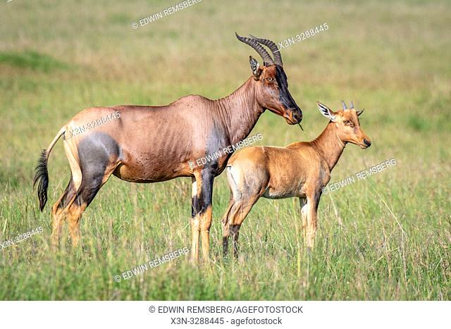 Topi (Damaliscus lunatus jimela) subspecies of the common tsessebe walk through a field with baby in Maasai Mara National Reserve, Kenya