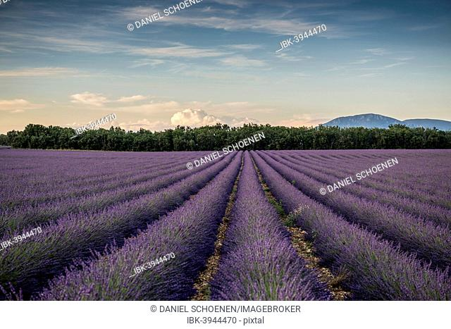 Lavender field in evening light, Plateau de Valensole in Valensole, Provence, Provence-Alpes-Côte d'Azur, France