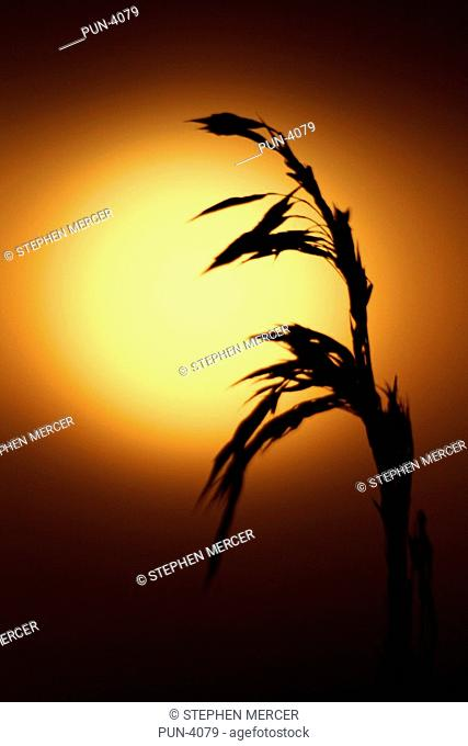 Tall wheat grass silhouetted against hazy morning sun