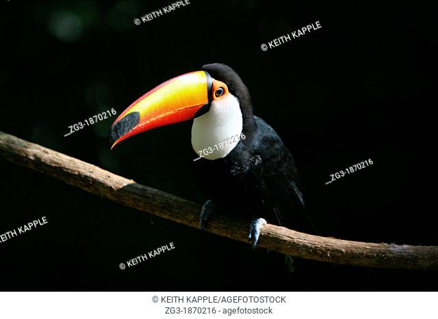 Portrait of a Toco Toucan against a black background in Brazil