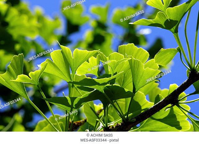 Ginko Branch, close-up