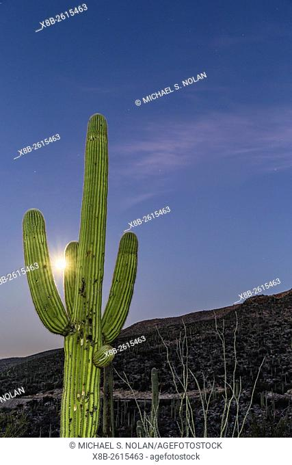 Giant saguaro cactus, Carnegiea gigantea, under full moon in the Catalina Mountains, Tucson, Az, U. S. A