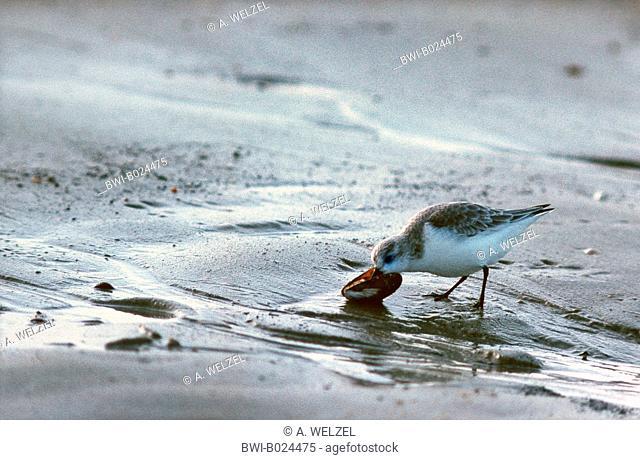 sanderling (Calidris alba), feeding on a shell, Netherlands, Walcheren
