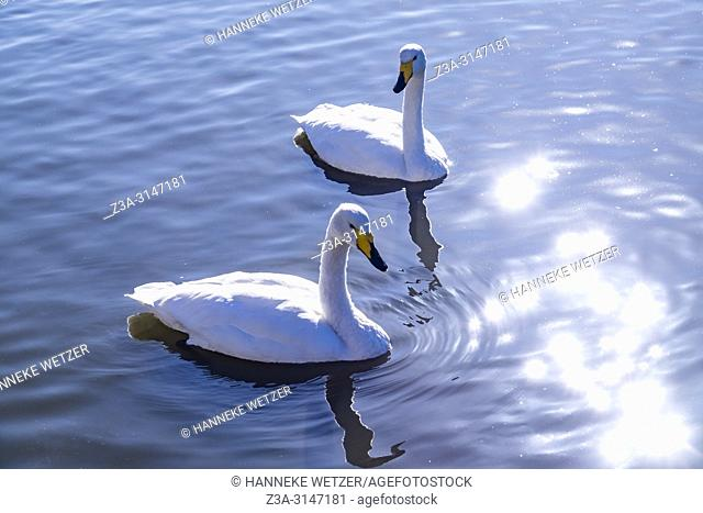 White swans swimming in a lake with sparkling sun