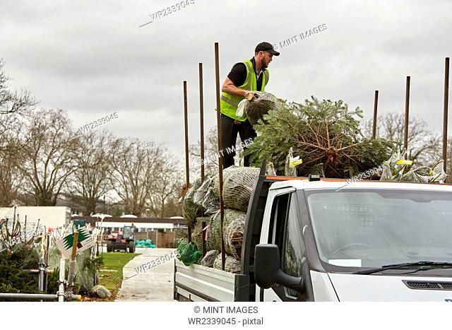 A man loading a lorry with pine trees for the Christmas tree market