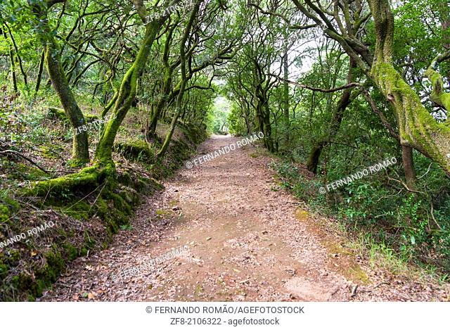 Path through an old forest at Bussaco, Portugal