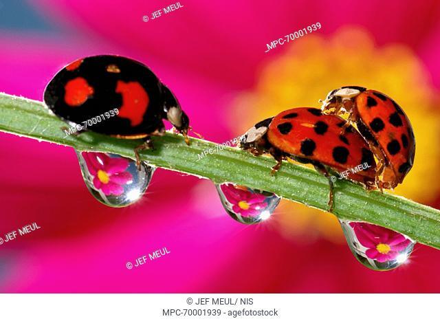 Asian Ladybird Beetle (Harmonia axyridis) pair mating on flower stock