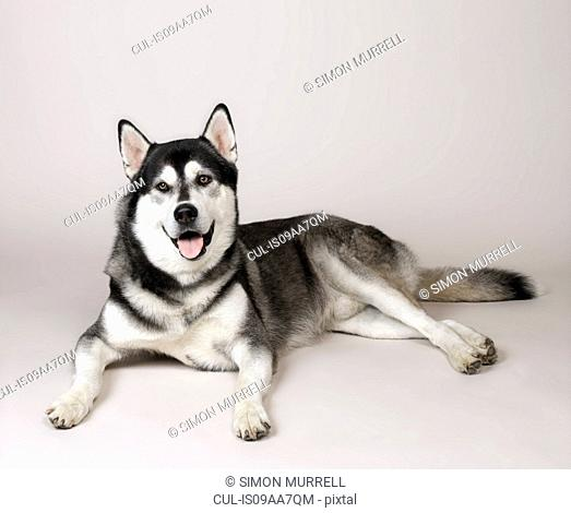 Husky relaxed