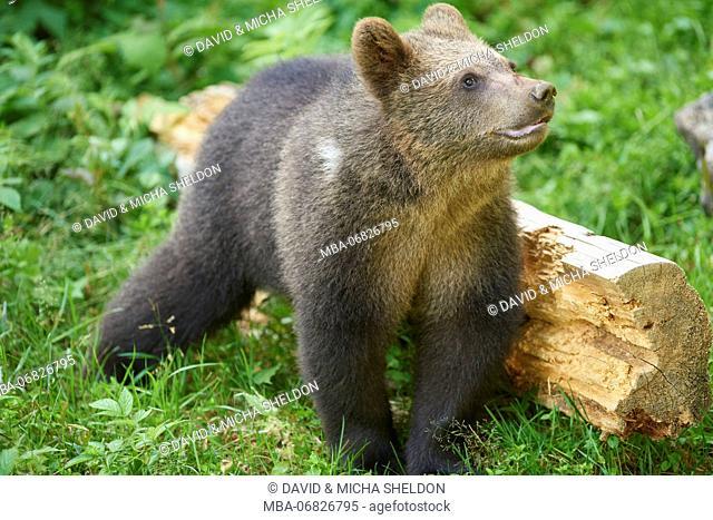 European brown bear, Ursus arctos arctos, young animal, wilderness, sidewise, stand