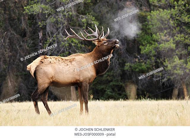 Canada, Alberta, Elk in jasper national park