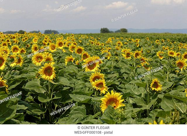 Austria, Burgenland, View of sunflower field