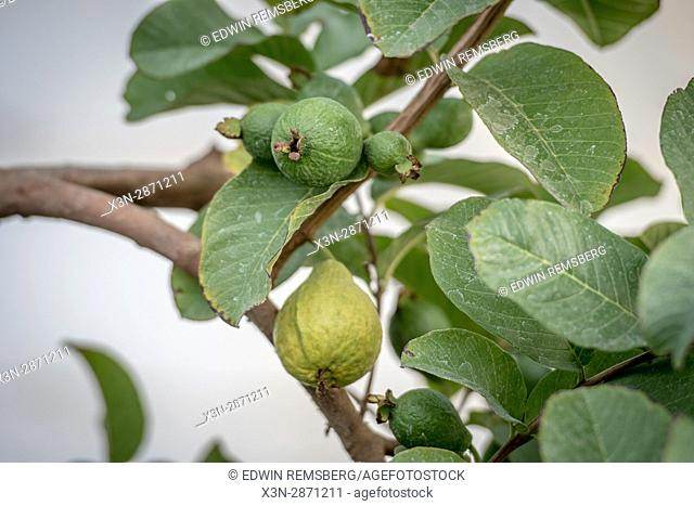 Limes growing on a farm in Helmeringhausen, southern Namibia, Africa