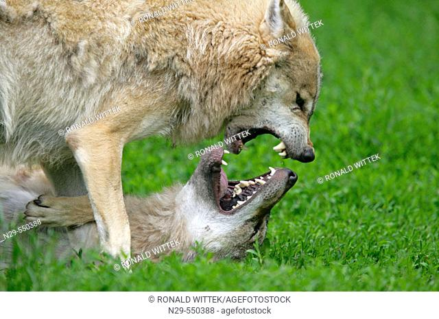 Wolf (Canis lupus), cubs. Germany