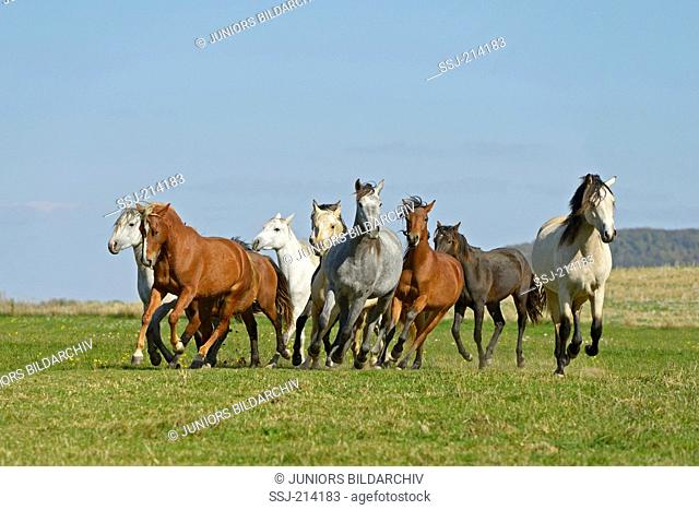 Connemara Pony. Herd of mares galloping on a pasture. Germany
