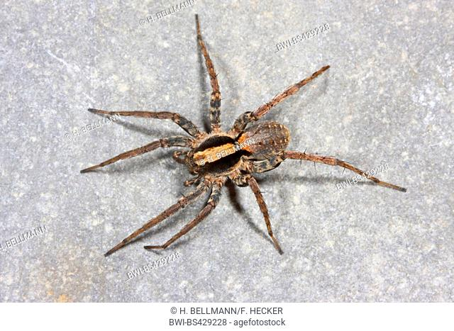 Burnt wolf-spider (Xerolycosa nemoralis), sits on a stone, Germany