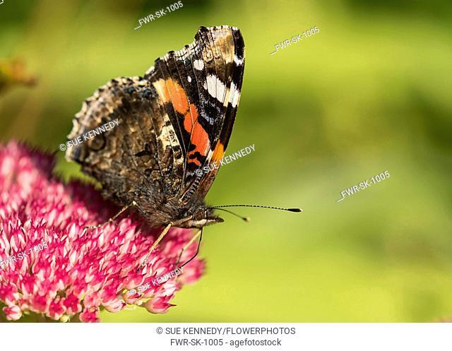 Sedum, Red Admiral butterfly Vanessa atalanta, feeding on a pink flowerhead in garden border