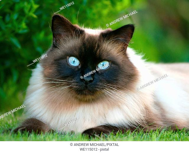 Ragdoll cat on the lawn