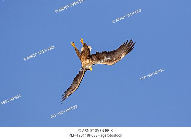 White-tailed eagle / sea eagle / erne (Haliaeetus albicilla) in flight diving against blue sky (sequence 3/4)