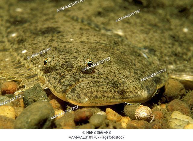 Summer Flounder (Paralichthys dentatus) AKA Fluke. ME to N. FL