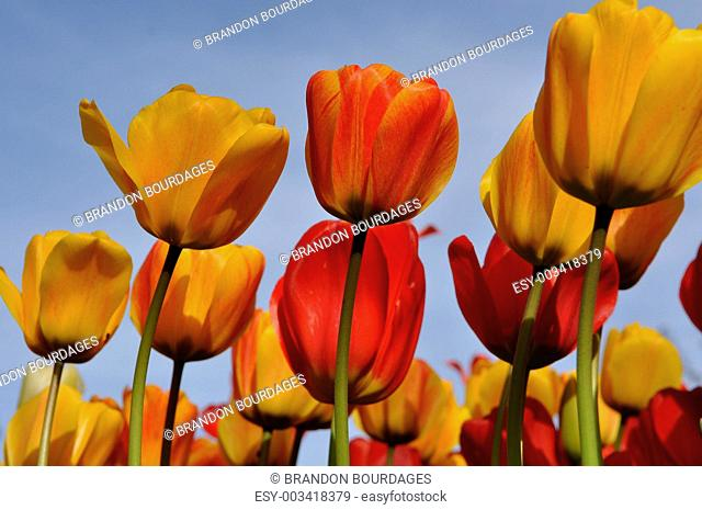 Orange and Yellow Tullips with Blue Sky