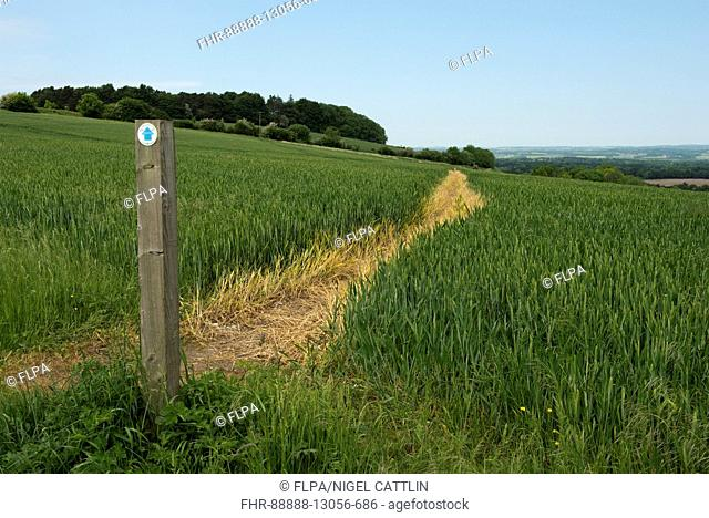 Footpath sign and path cut through stages of a winter wheat field on the North Wessex Downs in June