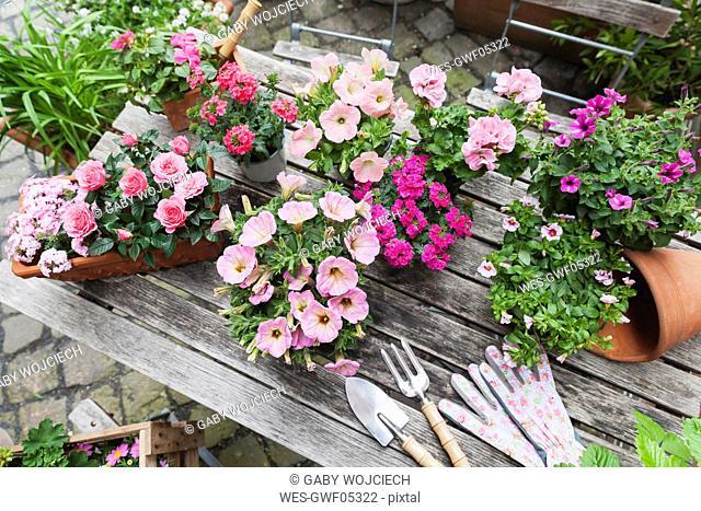 Gardening, planting of summer flowers, petunia, verbena, gerania, Impatiens walleriana, rose, Rosaceae