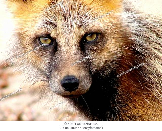 2007 on June, 29th Russia island Urup, a small young fox