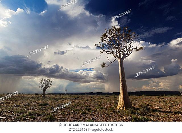 Landscape photo of quiver trees in sunlight below a dramtic afternoon thunderstorm. Fish River Canyon, Namibia