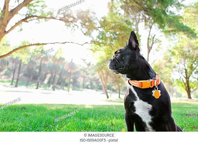 Portrait of dog looking over shoulder in park