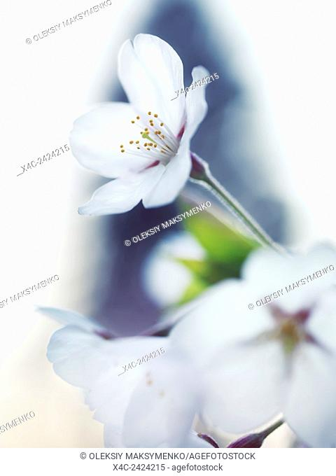 Closeup of sakura, beautiful white flowers of Japanese cherry blossom