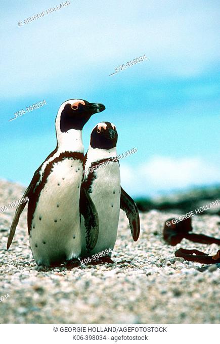 African Penguin (Spheniscus demersus). Dyer Island. South Africa