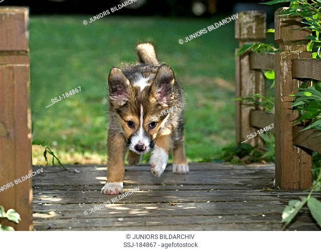 Mixed-breed dog. Puppy (8 weeks old) running over a wooden bridge over a garden pond