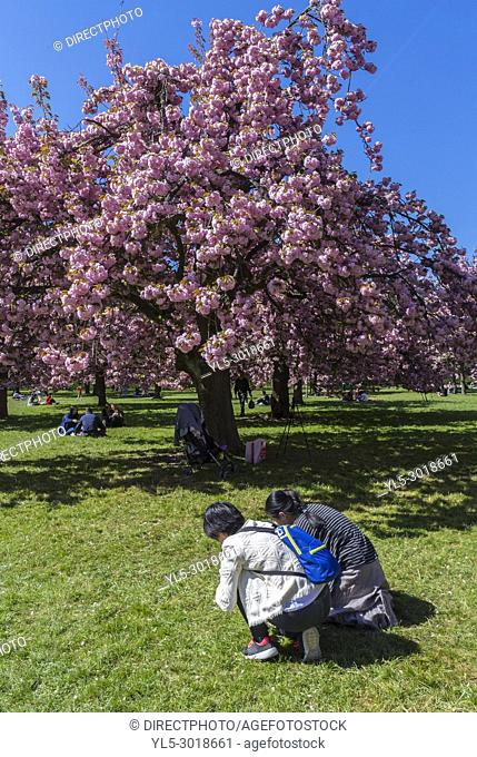 Antony, France, Parc de Sceaux, People Enjoying Cherry Blossoms, Spring FLowers